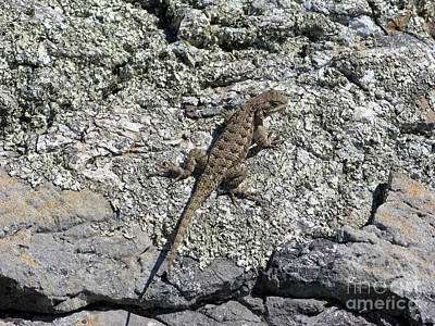 Mountain Landscape Rights Managed Images - Lizard in California Mount Tam area 02 Royalty-Free Image by Ausra Huntington nee Paulauskaite