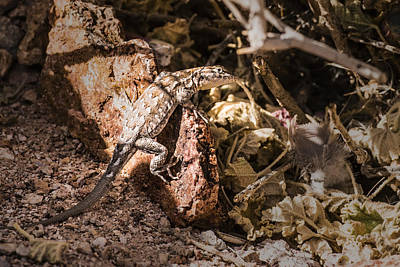 Photograph - Lizard In The Desert by  Onyonet  Photo Studios