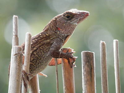 Photograph - Lizard Looking For Love by Belinda Lee