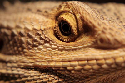 Photograph - Lizard Macro by Trent Mallett