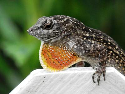 Photograph - Lizard Mating Move by Belinda Lee