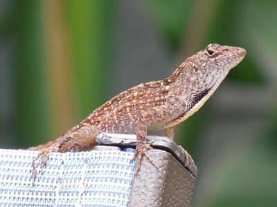 Photograph - Lizard On A Chair by Ron Davidson