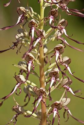 Lizard Orchid (himantoglossum Hircinum) Art Print