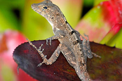 Photograph - Lizard Posing  by Alan Lenk