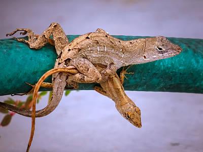 Love Photograph - Lizard's Love by Zina Stromberg