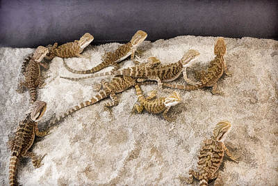 Digital Art - Lizards by Photographic Art by Russel Ray Photos
