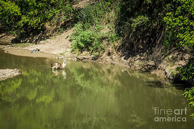 Photograph - Llama Cooling Off In River by Imagery by Charly