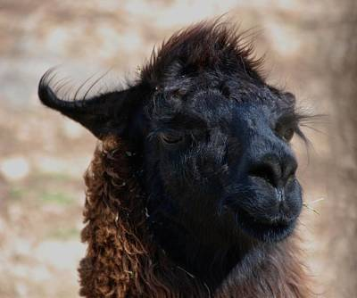 Photograph - Llama Face by Eric Tressler