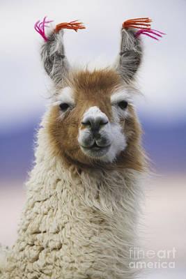 Llama In Bolivia Art Print