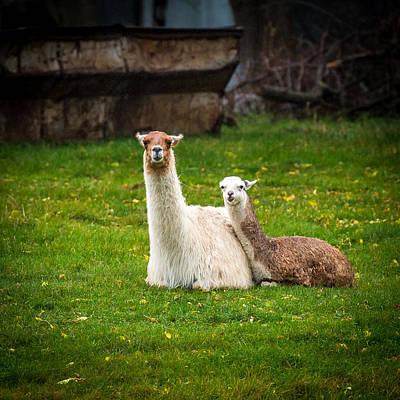 Country Scene Photograph - Llama Mamma by Paul Freidlund