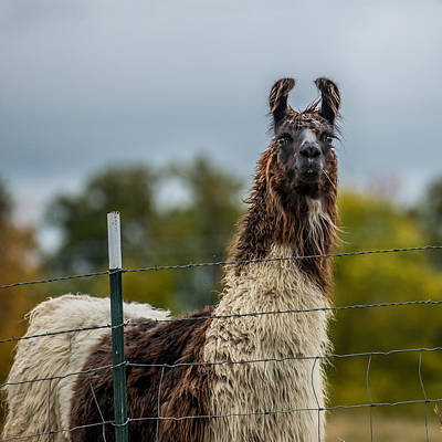 Country Scenes Photograph - Llama by Paul Freidlund