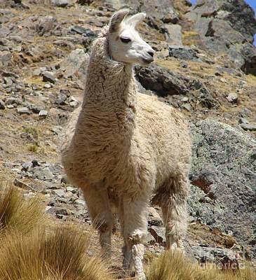 Photograph - Llama Sentinal by Lew Davis