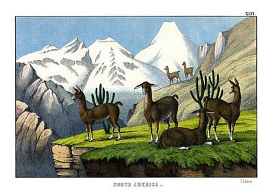 Llama Drawing - Llama by Splendid Art Prints