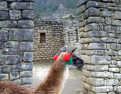 Photograph - Llama Touring Machu Picchu by Barbie Corbett-Newmin
