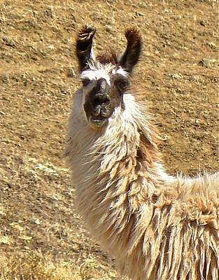 Photograph - Llama Tricolor by K L Kingston