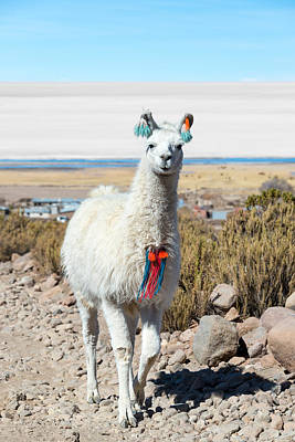 Mammals Royalty-Free and Rights-Managed Images - Llama with Uyuni Salt Flats by Jess Kraft