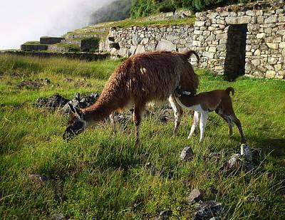 Photograph - Llama Ya Mama by Xueling Zou