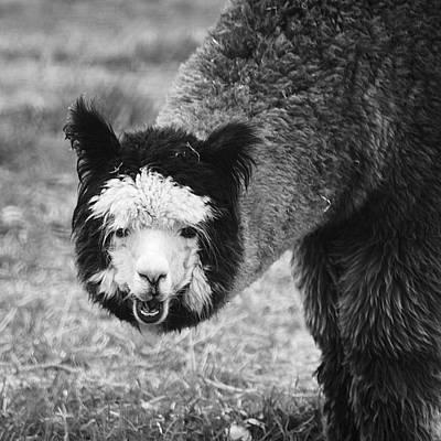 Photograph - Llama by Yulia Kazansky
