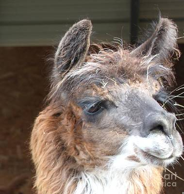 Photograph - Llama...leader Of The Alpaca Pack by Terri Thompson