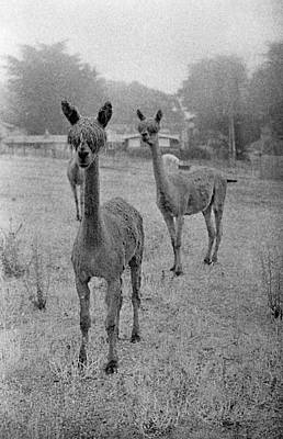 Photograph - Llamas by Luis Esteves