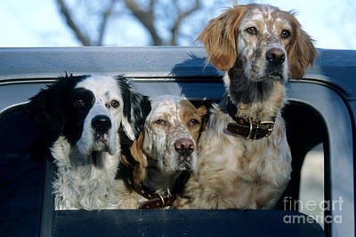 English Setter Photograph - Llewellyn Setters by William H. Mullins