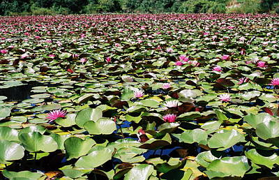 Photograph - Loads Of Lilies by Cathie Douglas
