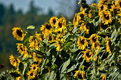 Photograph - Loads Of Sunflowers by Cheryl Baxter