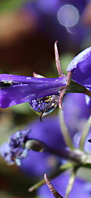 Photograph - Lobelia Drop by Kume Bryant
