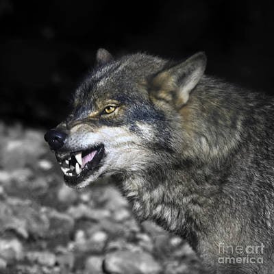 Lobo Art Print by Angel  Tarantella