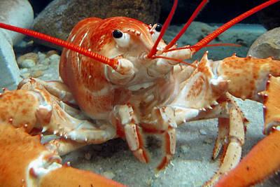 Close-up Photograph - Lobster by Bob Slitzan