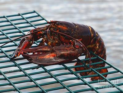 Photograph - Lobster by Christine Stack