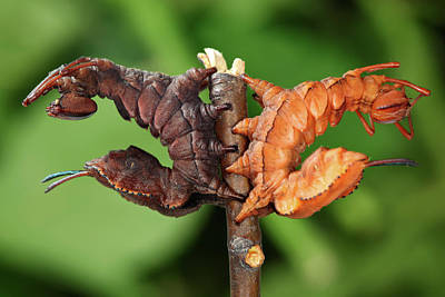 Unusual Animal Photograph - Lobster Moth Caterpillars by Tomasz Litwin