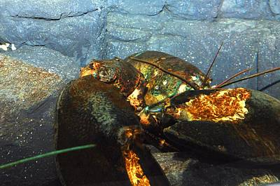 Photograph - Lobster  by Puzzles Shum