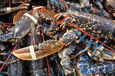 Lobsters Caught Off Craster Art Print by Ashley Cooper