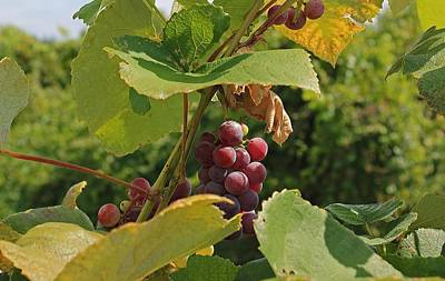 Photograph - Local Red Grapes by Michael Saunders