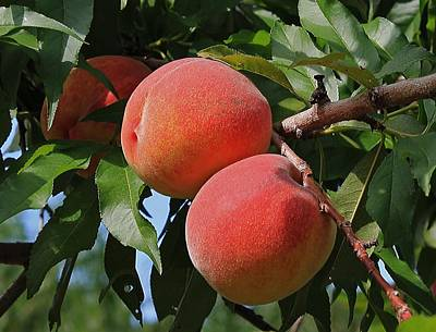 Photograph - Local Peaches by Michael Saunders