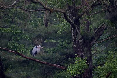 Great Blue Heron Photograph - Loch Raven Heron by Benjamin DeHaven