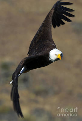 Eagle Photograph - Locked In by Mike  Dawson