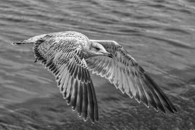 Flying Seagull Digital Art - Locked On by Linda Unger
