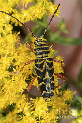 Photograph - Locust Borer Beetle by Scott Camazine