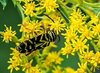 Locust Borer Beetle Art Print by Steve Harrington