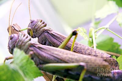 Locust Original by Lali Kacharava