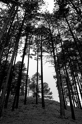 Photograph - Lodge Pole Pines by Joe Kozlowski
