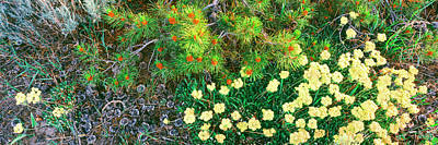 Eriogonum Photograph - Lodgepole Pine Bough With New Cone by Panoramic Images