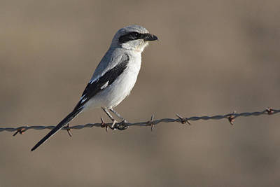 Photograph - Loggerhead Shrike by Alan Lenk