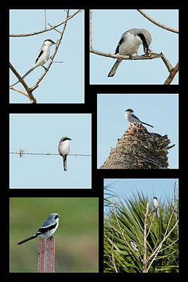 Photograph - Loggerhead Shrike Collage by Dawn Currie