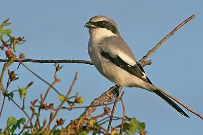 Photograph - Loggerhead Shrike On Blue Background by Ira Runyan