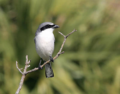 Photograph - Loggerhead Shrike On Perch by Ira Runyan