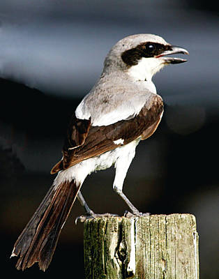 Photograph - Loggerhead Shrike On Post by Ira Runyan
