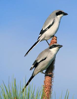 Photograph - Loggerhead Shrike Pair by Ira Runyan